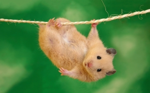 hamster-hang-out